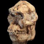 Изучен мозг таинственного гоминина «Little foot»
