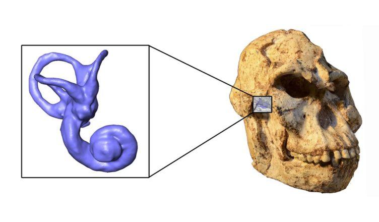 «Литл Фут» ходил скорее, как шимпанзе, чем как современный человек