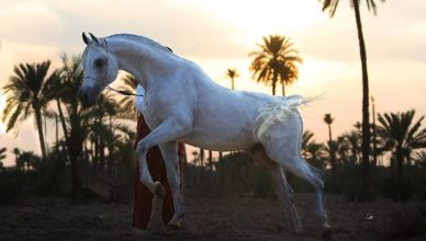 Танцующая лошадь (Марокко)