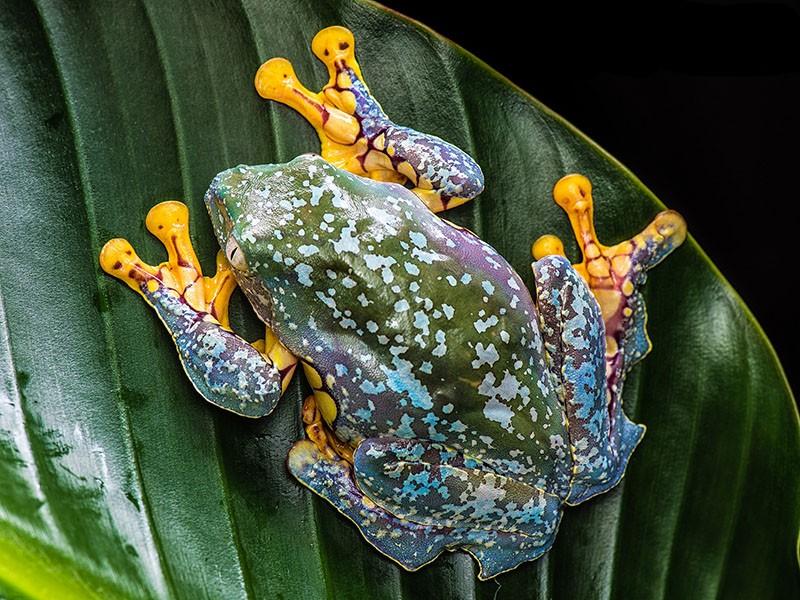 Бахромчатая лягушка
