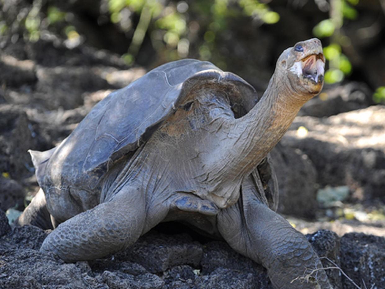 Гигантская слоновая черепаха Пинты