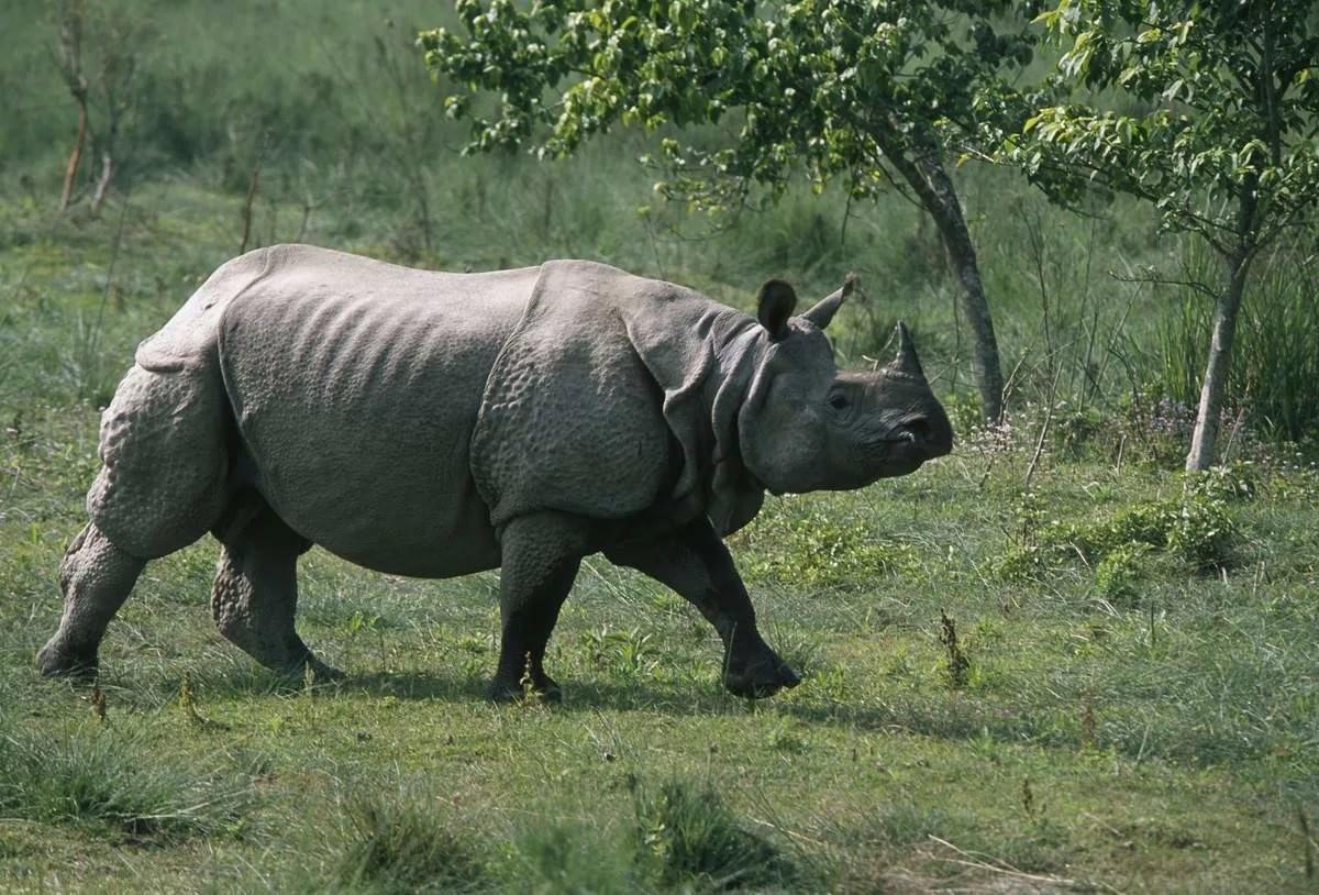 Вьетнамский носорог