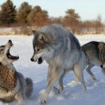 Почему дети разных народов во все времена боялись Серого Волка